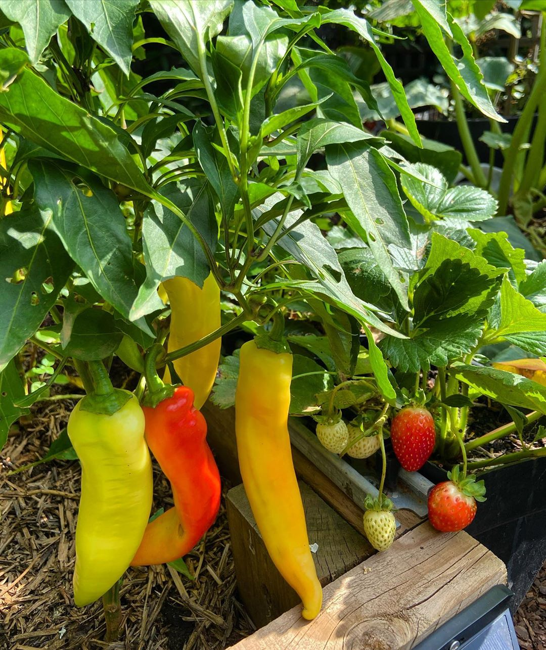 Time To Harvest My Capsicum Long Sweet Y Ripe - Gardening