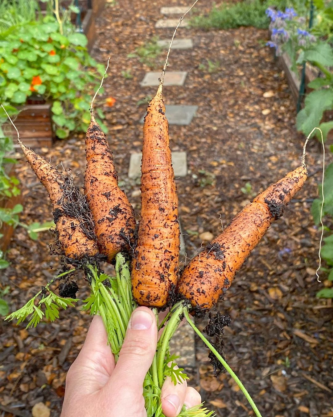 Carrots: Patience Seems To Be A Virtue W Carrots - Gardening